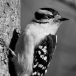 Downy Woodpecker. Photo: Corey Finger/10,000 Birds.