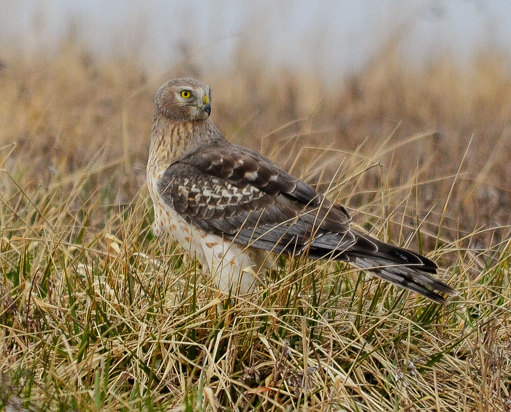 Northern Harrier on the grassland landfill at Croton Point Park. Photo: Jeff Seneca