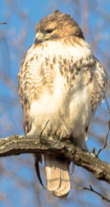 Red-tailed hawks are frequently seen at Haas Sanctuary. They are the most common hawks in Westchester County. Look for the blaze of white on their chest as they sit quietly in nearby trees waiting for a passing squirrel. Photo: SMRA