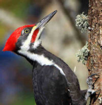 Pileated Woodpecker. Photo: Suzanne O'Rourke