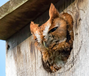 Eagle Scout Candidate Jonathan Wiedenheft will be building five nesting boxes for Eastern Screech-Owls to be installed, Spring 2021, in Saw Mill River Audubon sanctuaries in northern Westchester County, New York. These boxes will be placed on poles with baffle guards in Brinton Brook, Pruyn and Pinecliff Sanctuaries. We invite your sponsorship of one of these boxes at $100 /box. Your donation will: • underwrite the costs of all materials, • contribute to annual box maintenance, and • add a sign on the pole acknowledging the sponsor(s).